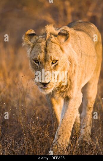 lion walking towards camera