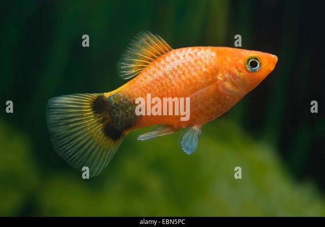 Xiphophorus stock photos xiphophorus stock images alamy for Platy fish breeding
