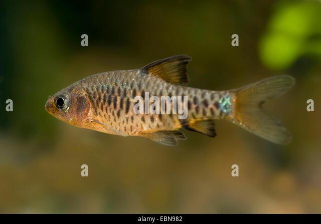 Checkered barb, Checkerboard, Island barb (Puntius oligolepis, Barbus ...