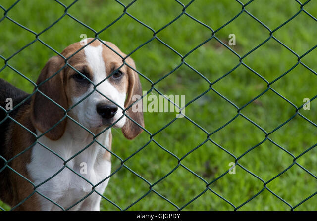 Dog Looking Through Fence Stock Photos Amp Dog Looking