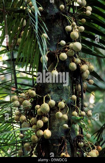 amazon rainforest fruit trees. ecuadoramazon rainforest rio napo near coca rain tree local name amazon fruit trees