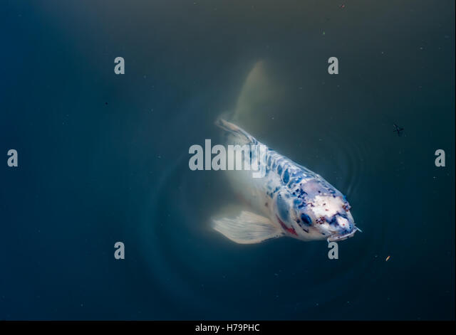 Murky pond stock photos murky pond stock images alamy for Koi pond water murky