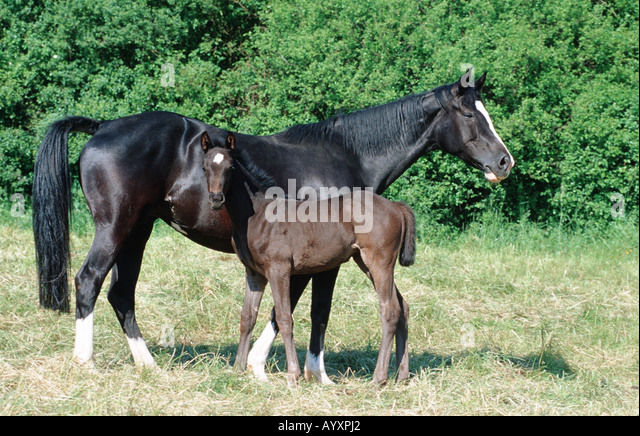 What does Friesian mean? definition and meaning (Free ...