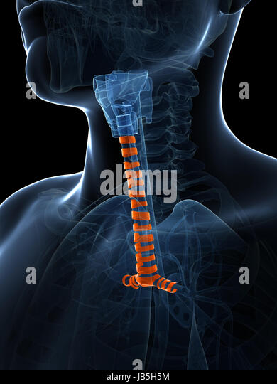 tracheal rings stock photos & tracheal rings stock images - alamy, Human Body