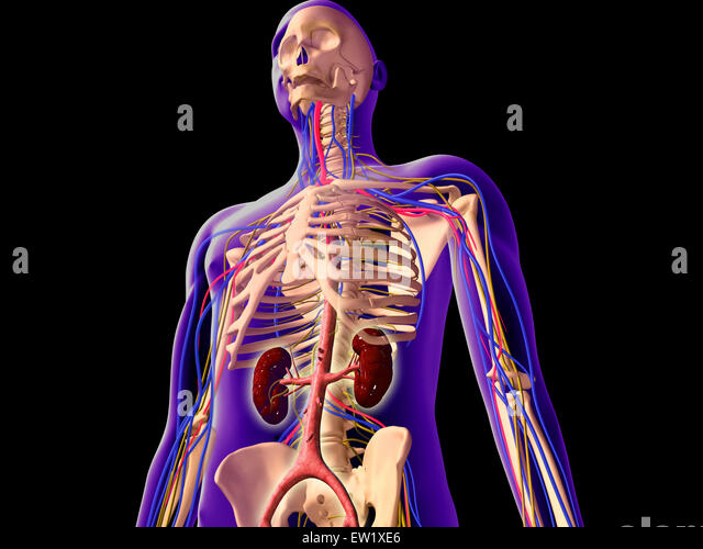 costae verae stock photos & costae verae stock images - alamy, Skeleton