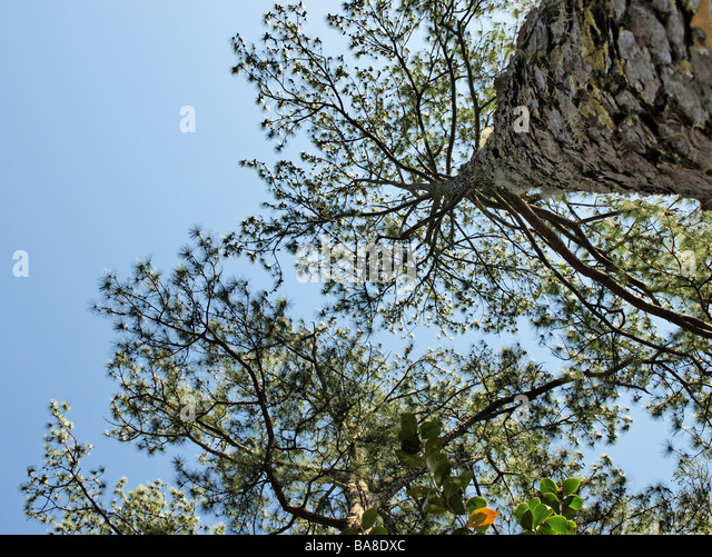 Long Leaf Pine Stock Photos & Long Leaf Pine Stock Images ...