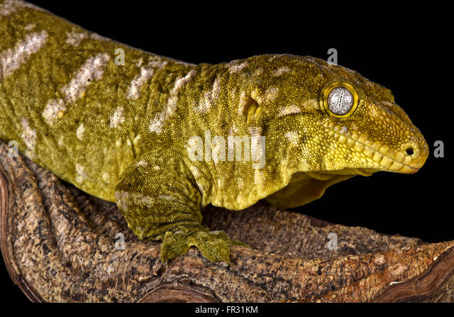 giant crested gecko - photo #34
