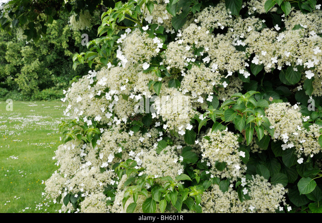 hydrangea anomala subsp petiolaris stock photos. Black Bedroom Furniture Sets. Home Design Ideas