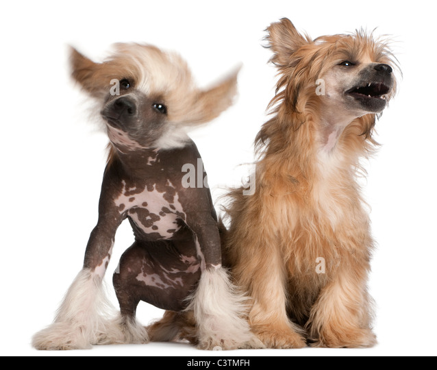 Chinese Crested 4 Months Chinese Crested Puppy ...