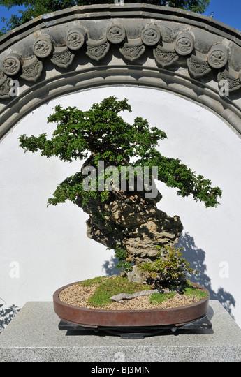 Bonsai baum stock photos bonsai baum stock images alamy for Jardin de china