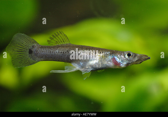 Killifish Stock Photos & Killifish Stock Images - Alamy
