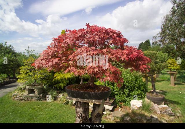 Bonsai nursery stock photos bonsai nursery stock images for Garden trees kent