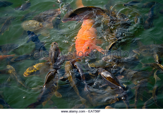 Variety fishes stock photos variety fishes stock images for Pond fish species