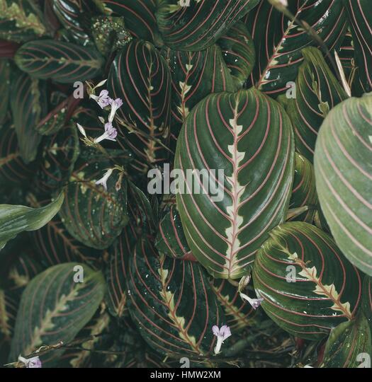 Massangeana stock photos massangeana stock images alamy for Prayer palm plant