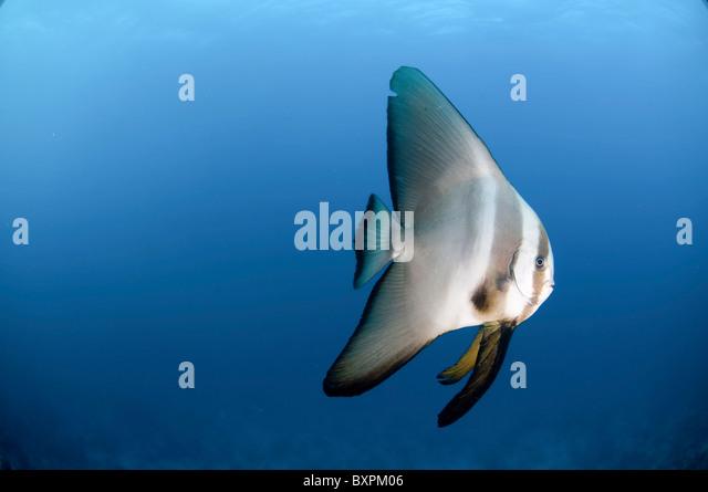 Pinnatus batfish