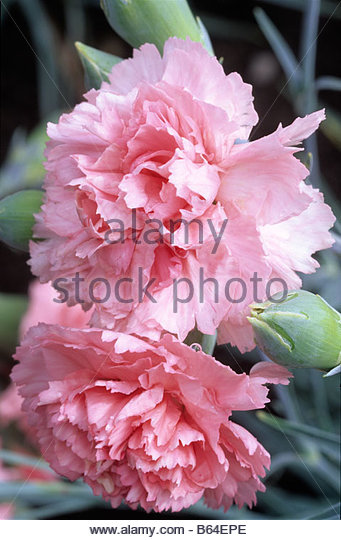 Old-Fashioned Pinks - Dianthus - Select Seeds 91