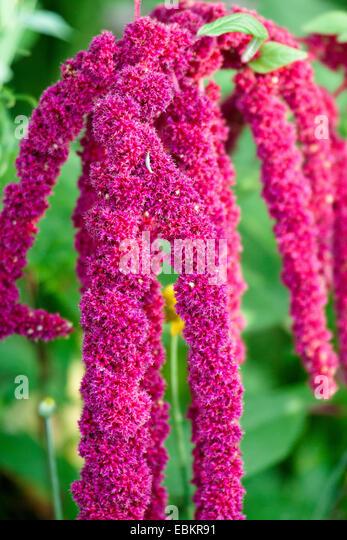 Amaranthus Caudatus Stock Photos Amp Amp
