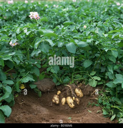 Potato Plant Flower Tuber Stock Photos & Potato Plant ...