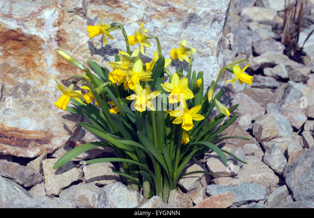 narcissus tete tete dwarf daffodils stock photos narcissus tete tete dwarf daffodils stock. Black Bedroom Furniture Sets. Home Design Ideas