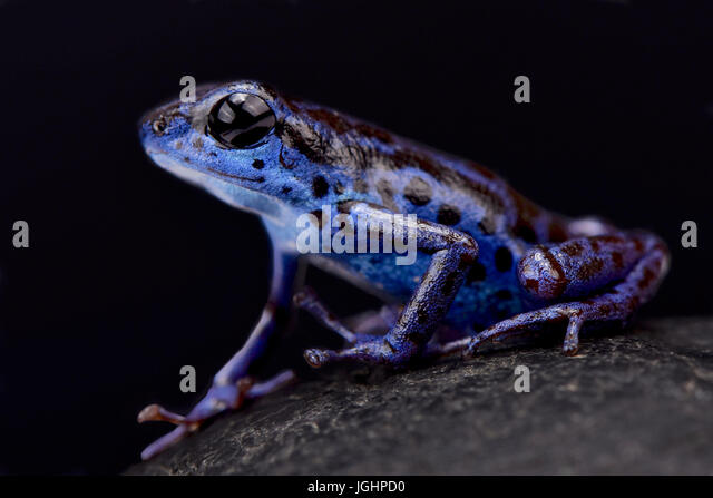 Blue strawberry dart frog, Oophaga pumilio 'Rio Colubre' - Stock Image