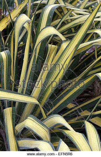 yucca filamentosa stock photos yucca filamentosa stock. Black Bedroom Furniture Sets. Home Design Ideas