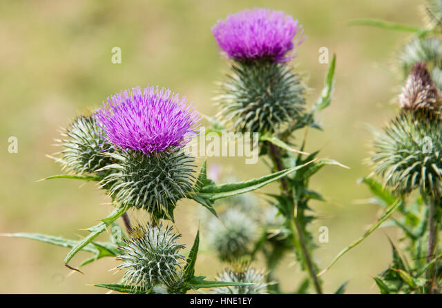 how to kill milk thistle weeds