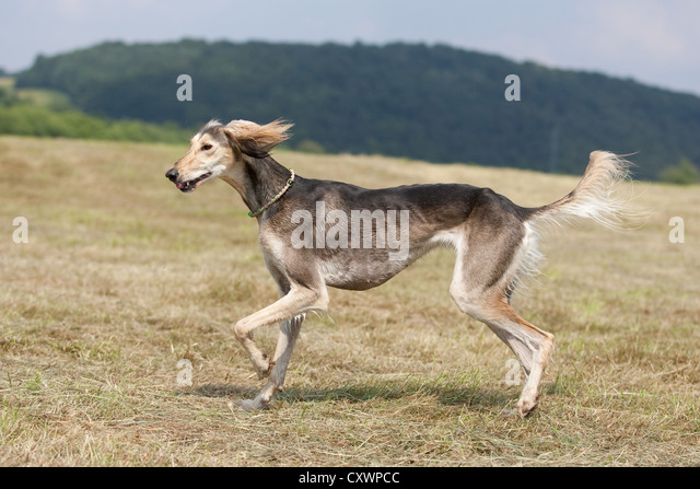 Saluki Run Stock Photos & Saluki Run Stock Images - Alamy