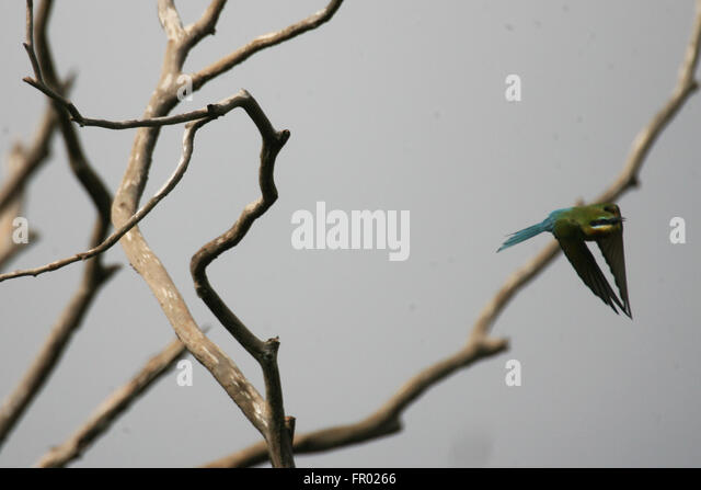 bee eater the transition to the Anim cogn 2002 dec5(4):253-9 epub 2002 nov 16 bee-eaters ( merops  orientalis) respond to what a predator can see watve m(1), thakar j, kale a,.