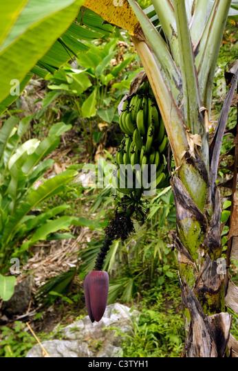 banana tree - photo #36