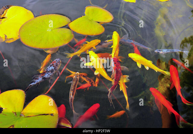 Ornamental pond and garden stock photos ornamental pond for Ornamental fish for pond
