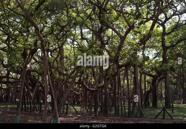 Ficus Benghalensis Stock Photos & Ficus Benghalensis Stock Images ...