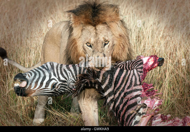 zebras and lions - photo #24