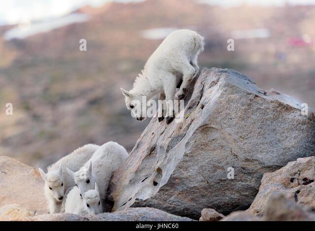 Goats Climbing Stock Photos & Goats Climbing Stock Images ...  Goats Climbing ...