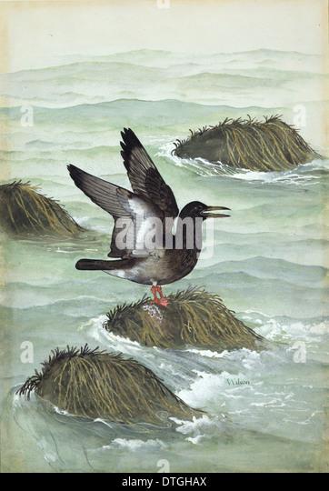 ichthyornis dispar cretaceous bird stock image