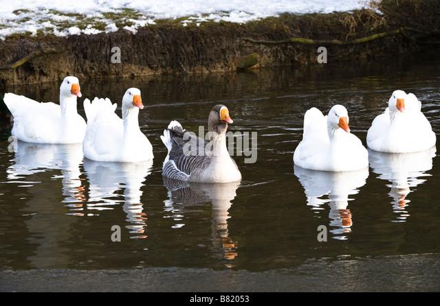 Geese: Goose, Hawaiian Goose, Canada Goose', Snow Goose, Anser