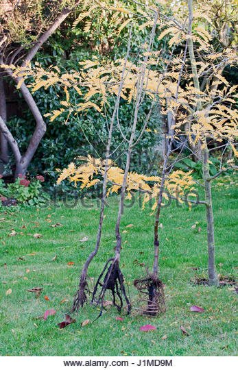 bare root fruit trees ready for planting prunus domestica czar plumprunus domestica victoria