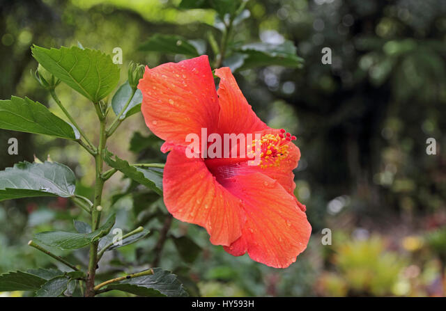 Hibiscus Schizopetalus Stock Photos & Hibiscus Schizopetalus Stock ...