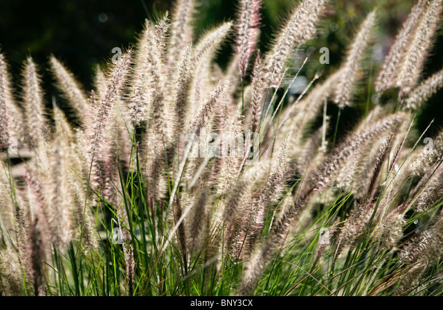 Grass plumes stock photos grass plumes stock images alamy for Ornamental grasses with plumes