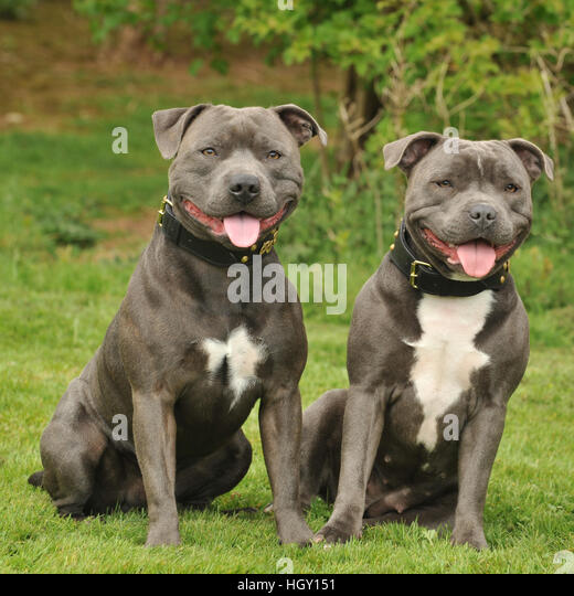 staff dog stock photos staff dog stock images alamy. Black Bedroom Furniture Sets. Home Design Ideas
