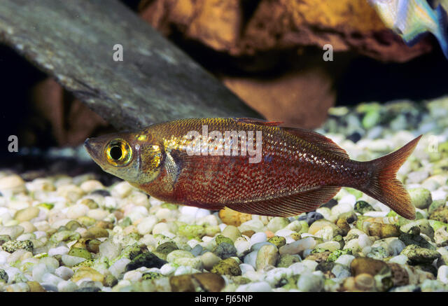 Tami River Rainbowfish : rainbowfish, Salmon-red rainbowfish, New Guinea Red Irian Rainbowfish ...