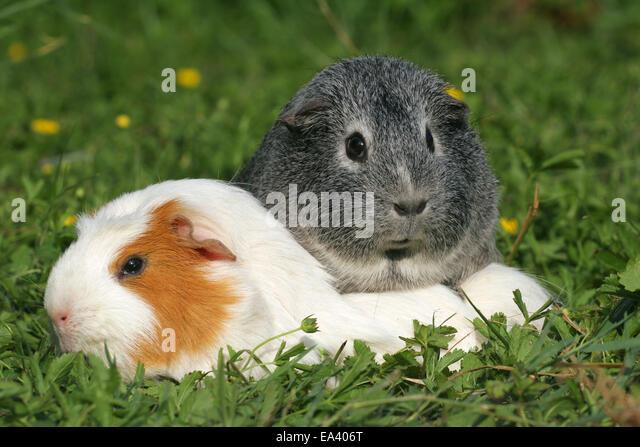 Crested guinea pig - photo#54