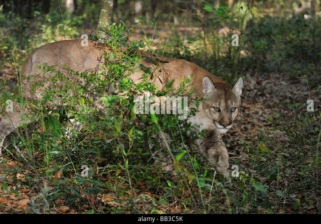 image Cougar hunting in florida
