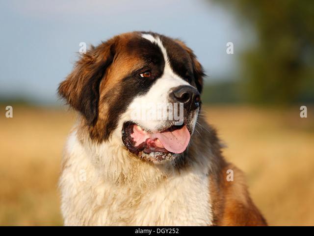 Celebrity st bernard dogs