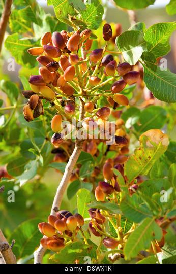 Growing Pistachios: Pistachio Plantation Stock Photos & Pistachio Plantation