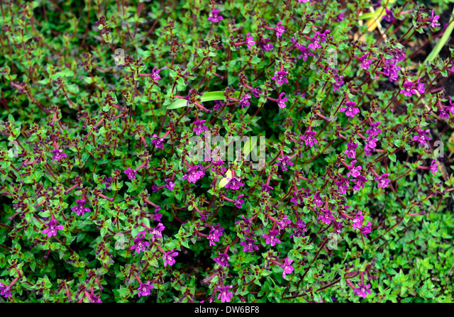 Evergreen groundcover stock photos evergreen groundcover for Purple flower ground cover perennial