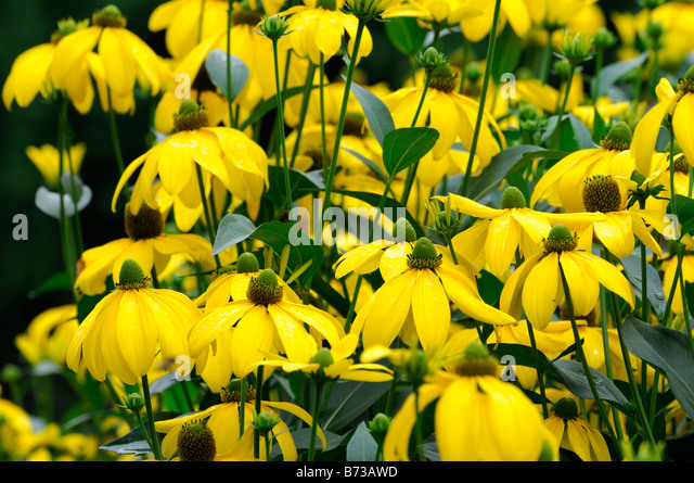 Autumn Colour Garden Rudbeckia Stock Photos Autumn