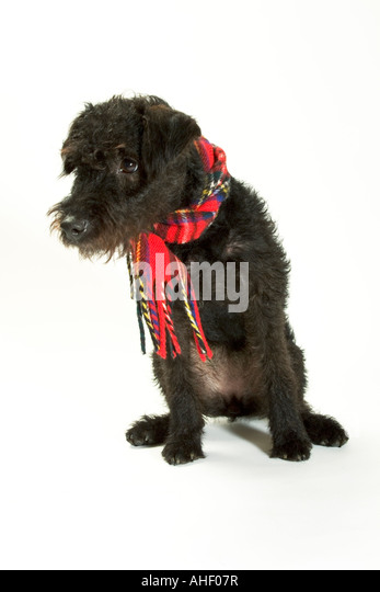 Small scruffy dog sitting stock photos amp small scruffy dog sitting