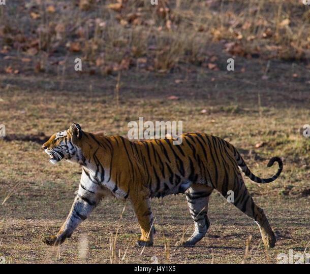 Bengal Tiger Walking In Bandhavgarh Stock Photos & Bengal