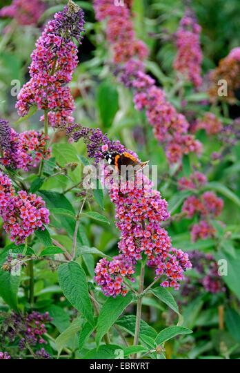 violet butterfly bush stock photos violet butterfly bush. Black Bedroom Furniture Sets. Home Design Ideas