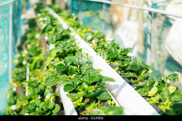 how to grow hydroponics strawberries